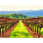 Napa Wine Country Vineyard